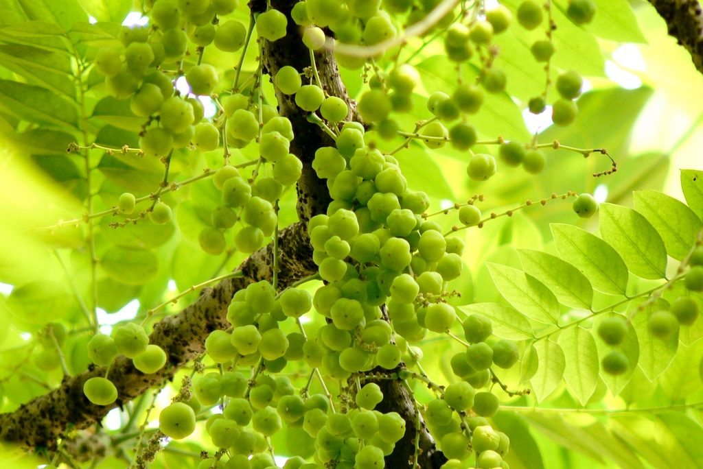 Amla Fruit, which is found in the Indian Gooseberry Tree, may promote hair growth. Scientists are studying a possible link between Amla Extract and hair growth.