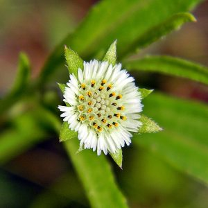 "The Eclipta prostrata is often called the ""false daisy"" due to its similar appearance. However, there may be more to this unassuming plant - eclipta alba hair research investigates the potential for hair regrowth with this flora."
