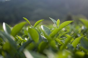 Studies on green tea hair growth effects have examined the characteristics of active ingredients, such as EGCG.