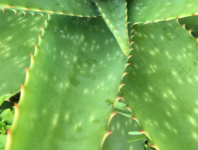 Aloe vera barbadensis controls inflammation that affects the hair follicles and scalp