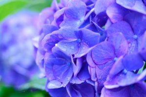 Hydrangea leaf extract has helped cultured human hair follicles grow longer hair in-vivo.