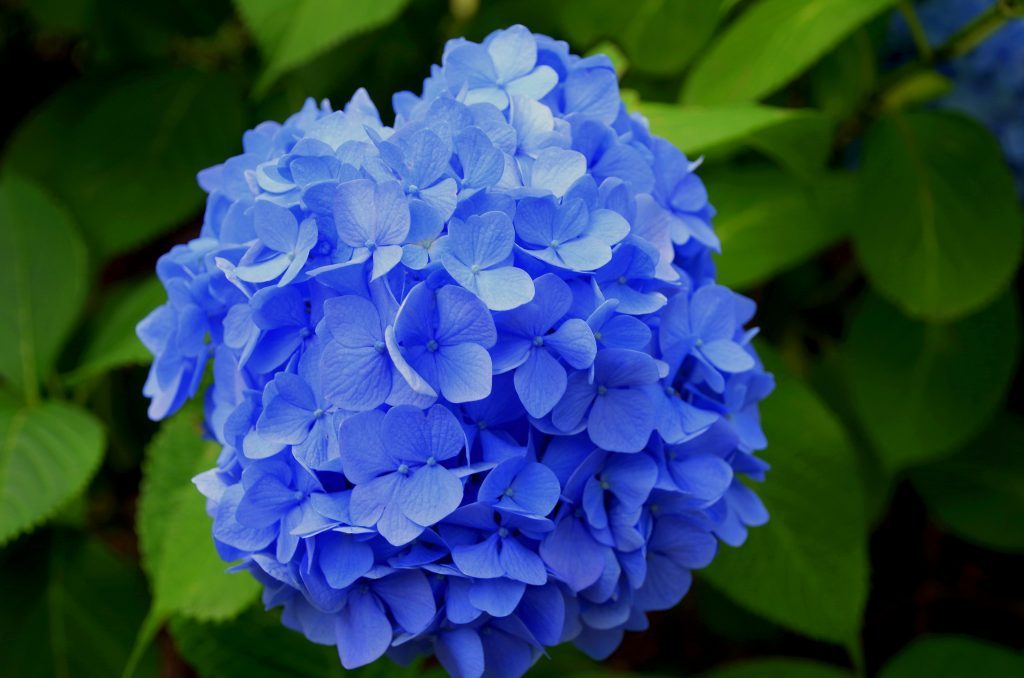 The benefits of using hydrangea macrophylla for hair loss may include its ability to target a different chemical pathway other than DHT.