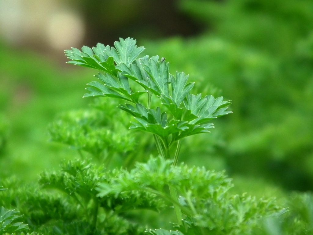 As a bioflavenoid, apigenin is also found abundantly in parsley. Apigenin for hair growth helps to prevent cellular death of the catagen stage in follicles