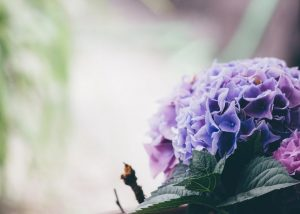 Research shows that the Hydrangea leaf extract may prove to be an effective topical agent that helps improve hair loss conditions
