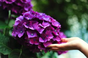 The hydrangea plant extract may offer a natural form of treatment to help control hair loss