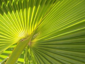 The recent interest in saw palmetto hair loss products is not the first time this plant has been investigated for its benefits. Saw palmetto benefits can be traced back to other civilizations and cultures.