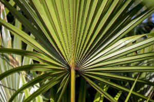 Researchers are looking into the use of saw palmetto for hair loss.