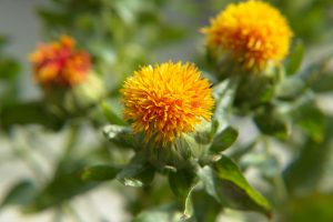 The use of safflower oil for hair has been speculated by many DIY home remedy sites for some time. New research, however, may reveal the effects of safflower oil on hair.