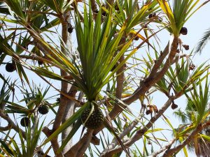 Saw palmetto extract is taken from the fruit of the plant. Recent interest in saw palmetto hair growth connections investigates how this plant extract may improve hair health.