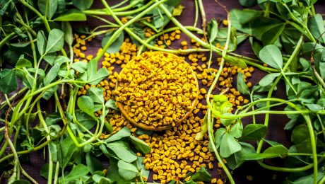 Fenugreek Extracts can be derived from its seeds and leaves