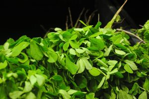 Modern science is studying the possibility of using fenugreek for hair follicle health through the design of controlled research experiments.