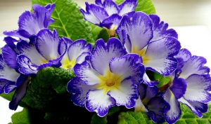 Primrose seed oil is an abundant source of gamma linoleic acid for hair growth and overall health