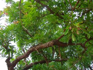 The nuts from the Shea Karite tree are harvested to produce beauty products like shea butter lotion for the hair, pomades, skin creams shampoos, lip balms and more.