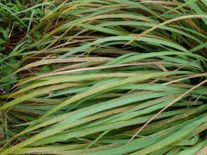 Lemongrass for hair and scalp health offers anti-inflammatory benefits