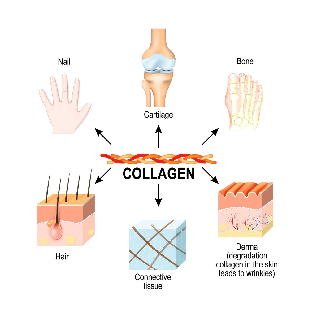 Collagen is the most abundant structural protein in the: connective tissues, cartilages, bones, nails, skin dermis, and hair.